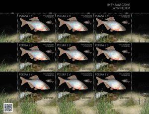 Ryby zagrozone rozanka arkusik