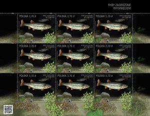 Ryby zagrozone strzebla arkusik